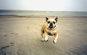 Bulldog-Beach